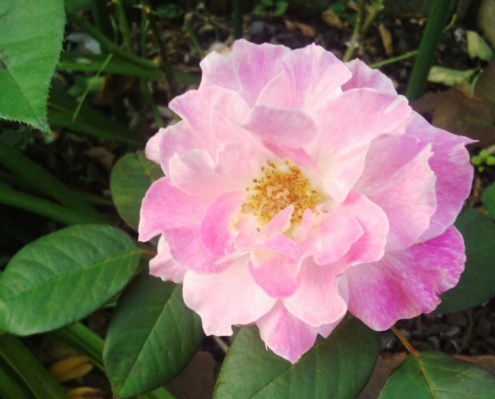 フロリバンダ/四季咲きローズ