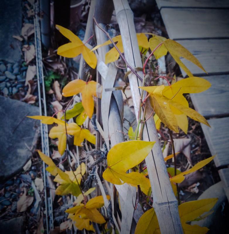 時計草の紅葉